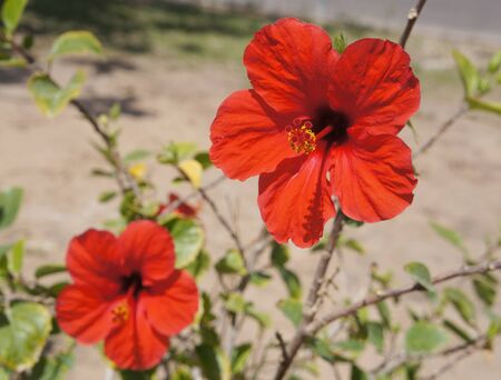 vibrancy: Red hibiscus in full bloom, selective focus on the right flower Stock Photo