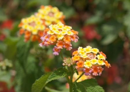 lantana camara: Lantana Camara blossom, selective focus on the flower