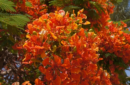 angiosperms: Delonix regia in bloom Stock Photo