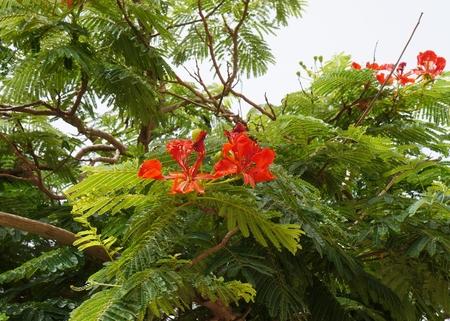fabales: Delonix regia blossom, selective focus Stock Photo