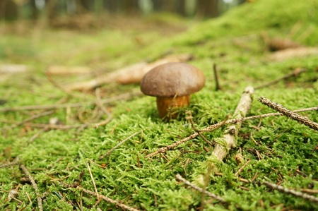 pineal: Close-up view of mushroom on the ground in the forest, purposely blurred