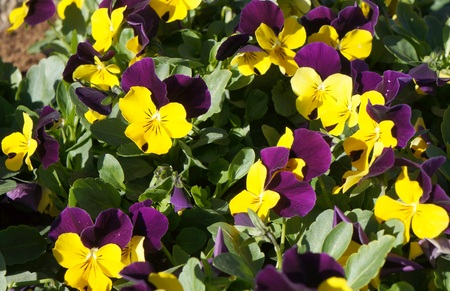 flamy: Viola tricolor flowers in the garden, selective focus on the flower