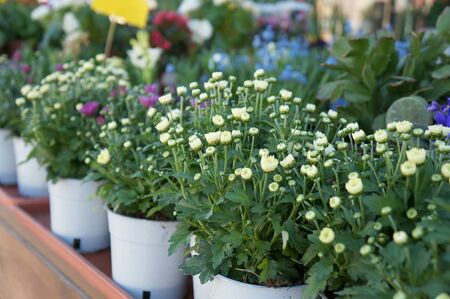 Flowers in the pots at the street near flower shop in defocused background
