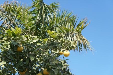 Yellow grapefruits on the tree