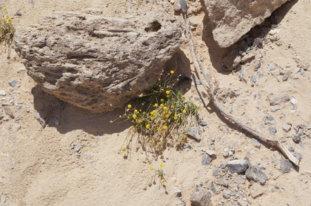 Matricaria discoidea, pineappleweed, wild chamomile disc mayweed among the stones in desert