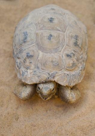 Negev desert tortoise, Testudo werneri, selective focus on face
