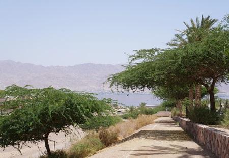 Alley of acacia trees in Eilat, Israel