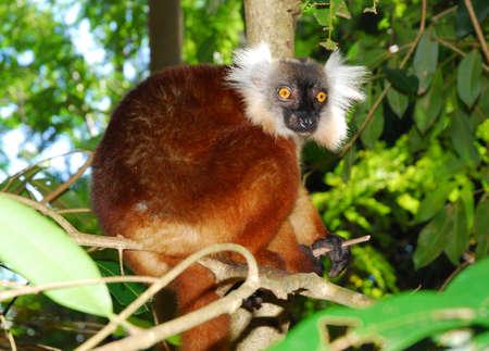 Black lemursMadagascar