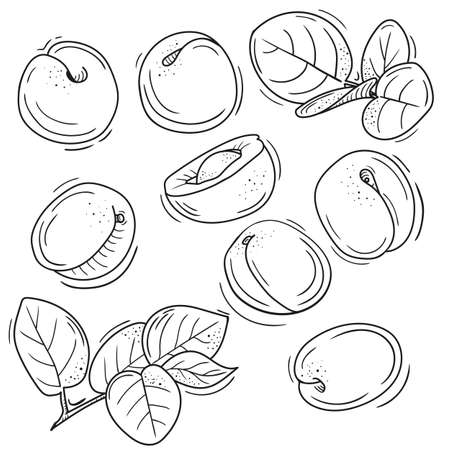 vector illustration of apricot in Doodle style. outline drawing of an apricot. the minimalistic design of fruit.
