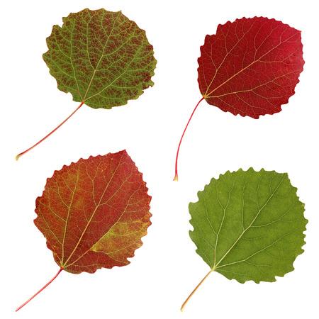 aspen leaf: aspen leaves isolated on white background. set of autumn leaves.