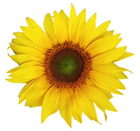 Single beautiful sunflower without leaves isolated on a white background. Nice flower for packing of sunflower oil, sunflower seeds or halvah.