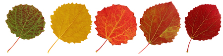 Autumn aspen leaves isolated on white background. Collection of red and yellow leaves.