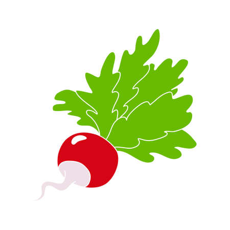 radishes with tops, hand-painted icon. color vector illustration. one vegetable isolated on a white background.