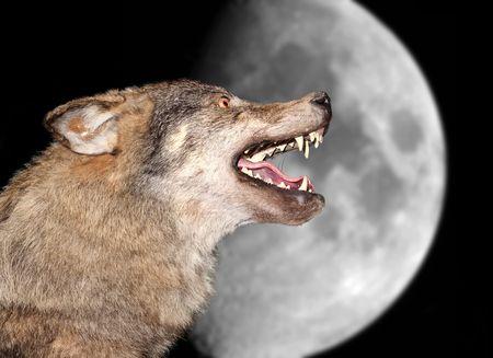 lobo: El lobo aullidos bajo la Luna