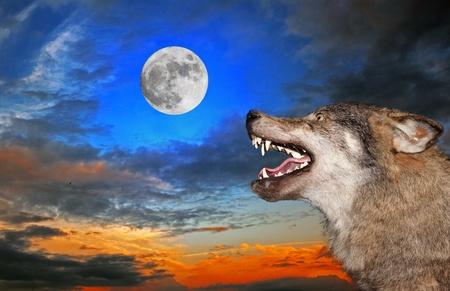 Der Wolf howls unter dem Mond