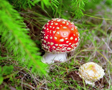 Red fly agaric on a fur-tree photo