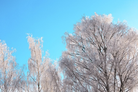 crystallize: Tree branches covered with a layer of hoarfrost