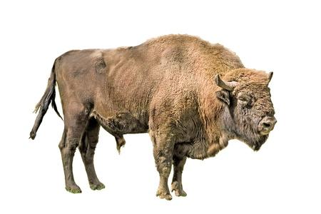 The European bison on a white background Фото со стока