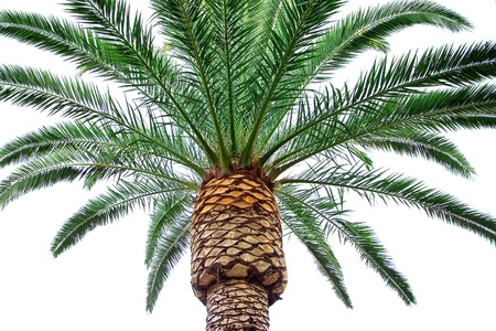 bark palm tree: The isolated palm tree on a white background