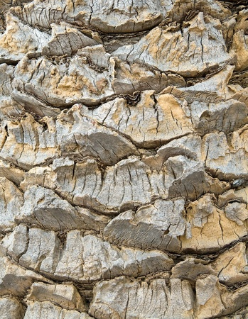 bark palm tree: Background in the form of a palm tree bark
