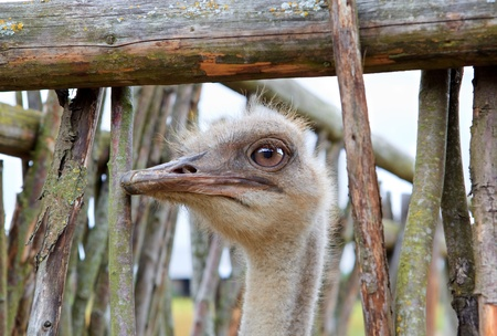 Head of an ostrich in a fence hole photo