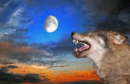 The wolf howls under the moon photo