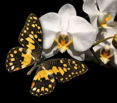 White orchid and butterfly on a black background