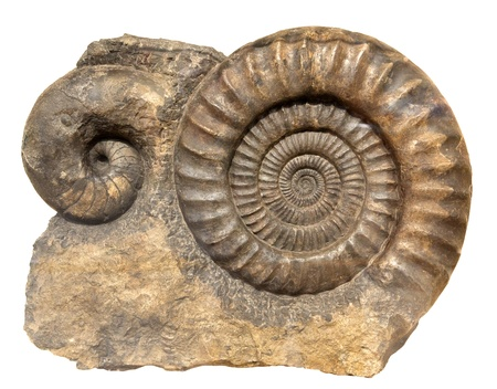 cockleshells: Ancient cockleshell on a white background