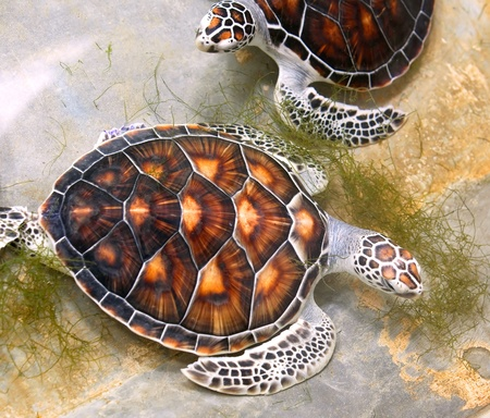 Sea turtles in nursery, Thailand Stock Photo