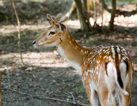 Fallow deer on the nature