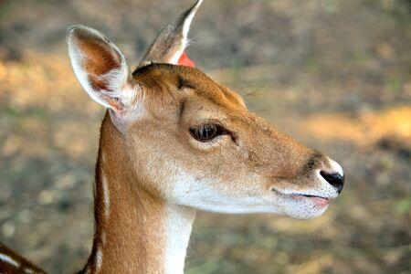 fallow deer: Fallow deer on the nature