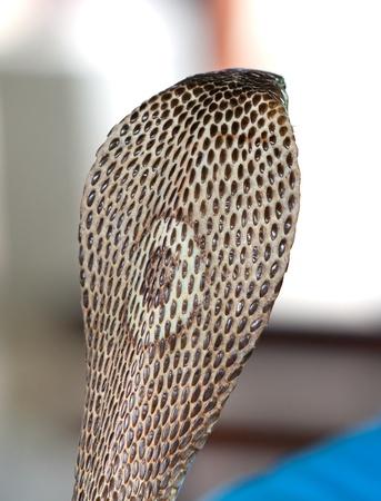 serpiente cobra: Cobra real, la vista trasera Foto de archivo