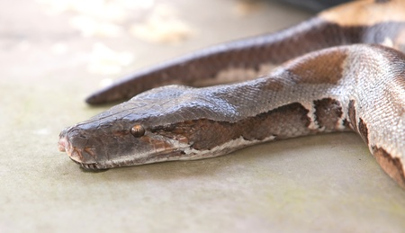 ball python: boa snake, python Stock Photo
