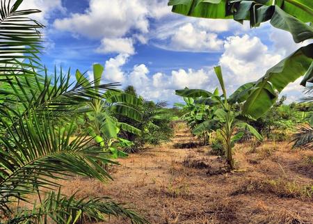 Banana plantation, Thailand photo