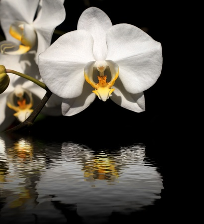 White orchid on a black background photo
