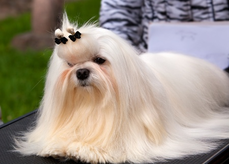 lap of luxury: Maltese at an exhibition of dogs