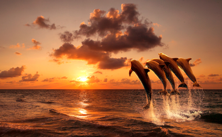 beautiful sunset with dolphins jumping photo