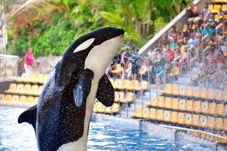 Killer whale in Loro Parque, Tenerife Stock Photo