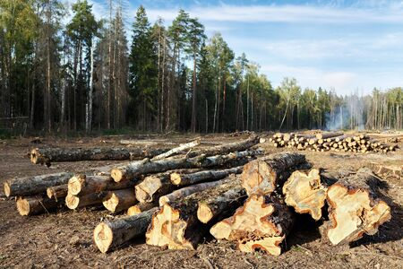 Sanitary felling of trees infected by eight-toothed bark beetle (Ips typographus) in the forest neart city Balashikha in Moscow region, Russia. Stock Photo