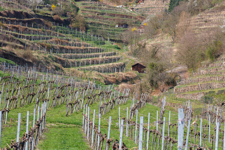 Terraced vineyards in the Wachau valley. The district of Krems-Land, Lower Austria. Stock Photo