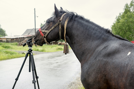 Black country horse in ragged harness researching the tripod for the camera. Russia. Stock Photo