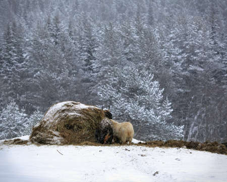 Animals around a haystack during snowfall in the winter. Farm in the Middle Urals near the village of Visim in the Sverdlovsk region of Russia. Stock Photo