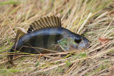 predatory fish perch which lies on the grass
