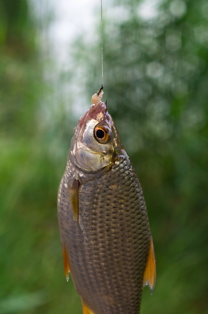 caught: Fish caught on a hook roach