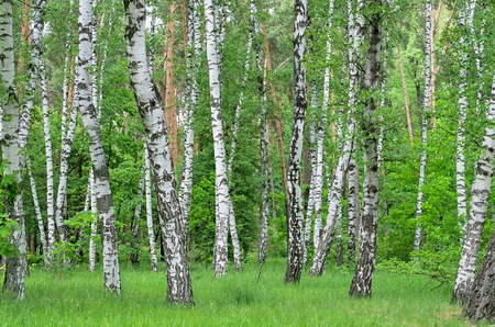 birch and pine