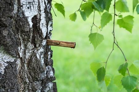 birch sap Фото со стока