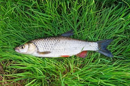 chub fish in the grass