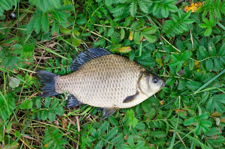 crucian on the grass