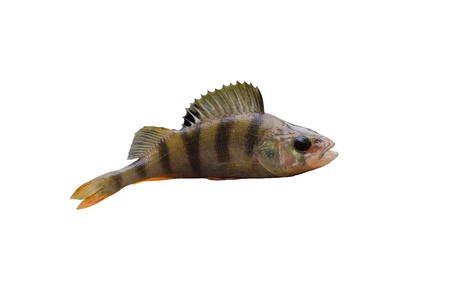 white perch: fish perch isolated on a white background