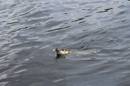 chub: caught in the river chub